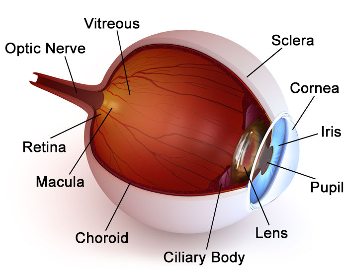 Eye Anatomy Drs Todd Giannetti Eyecare